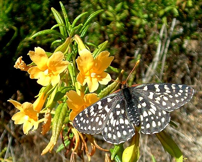Checkerspot butterfly on sticky monkey flower